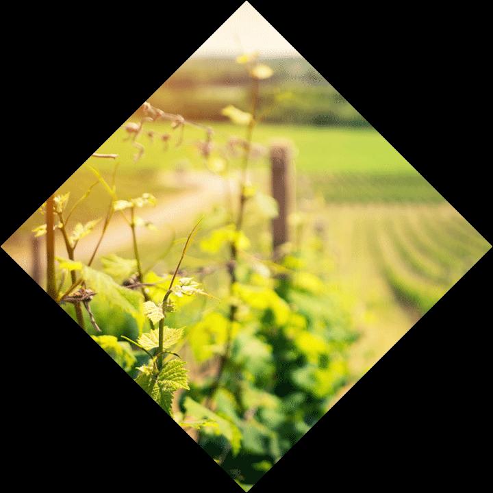 Les vignes de Jullié